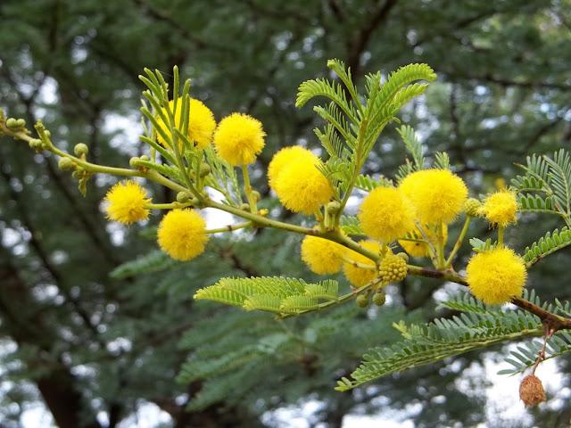 acacia flower