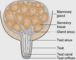 Mammry gland