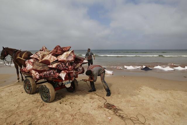 Peces raya varados en playa de Gaza