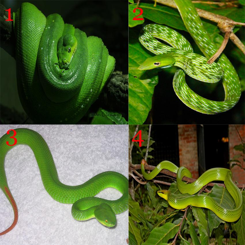Salatiga Snake Information Ular Hijau