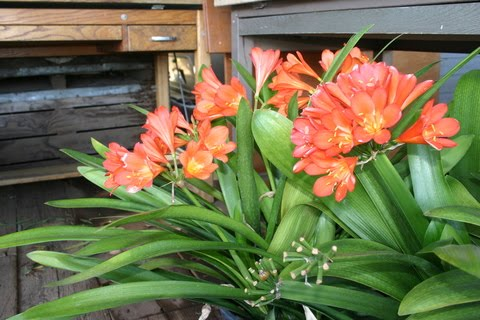 What to do in your southern california garden in november the plant winter blooming shrubs vines and perennials plant your clivia carolina jessaming hardenbergia breath of heaven ceanothus and cyclamen which mightylinksfo