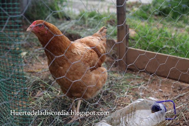 El huerto de la discordia separando a las gallinas - Cual es el mejor cebo para ratones ...