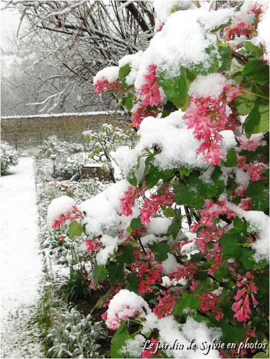 Le jardin de sylvie en photos groseiller fleurs sous la neige - Les jardins de la lagune oualidia sylvie ...