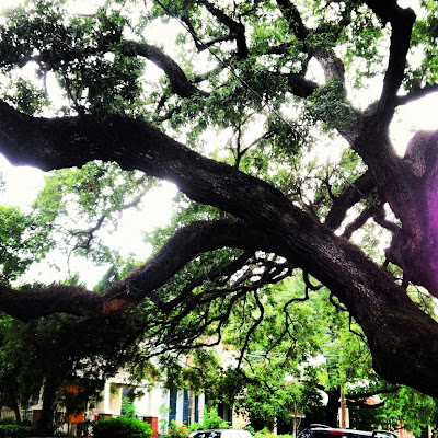 Giant New Orleans Live Oak Tree