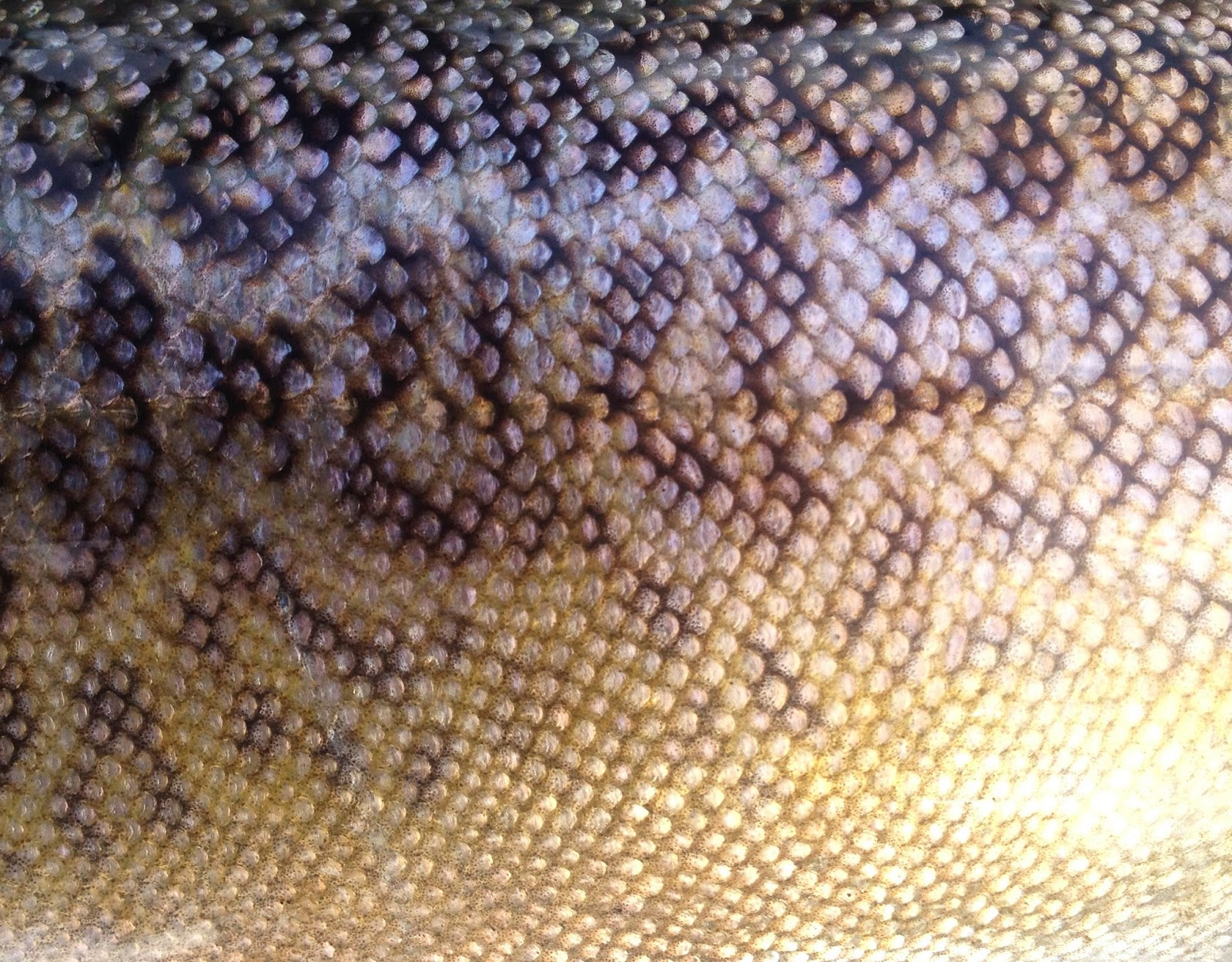 Tiger Trout Skin