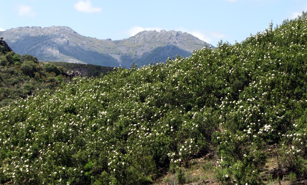 Entre Jaras y Pedreras: LA JARA PRINGOSA O MELOSA (cistus ladanifer)