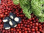 buah kultivar unggul bidara