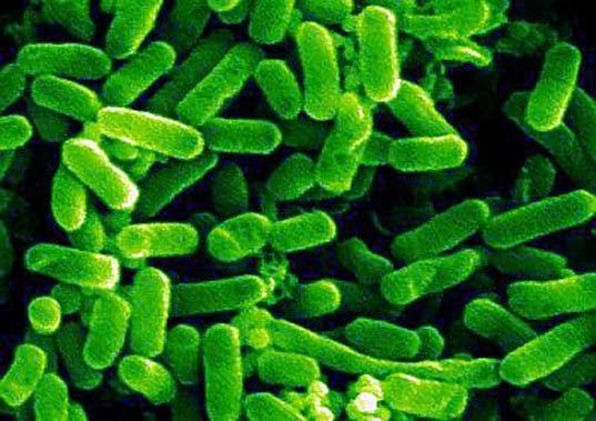 Bakteri E Coli membelah diri tiap 15 menit