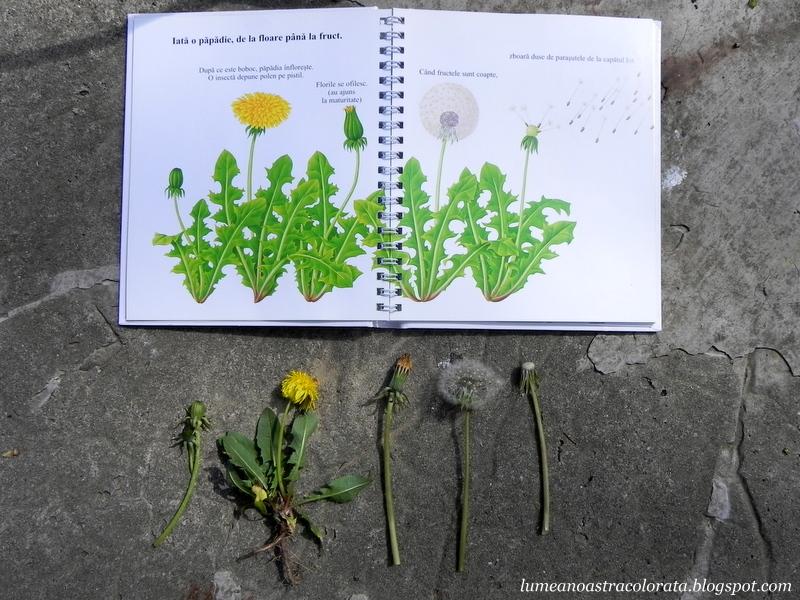 ciclul de viata al papadiei - cartea Floarea, editura Erc Press