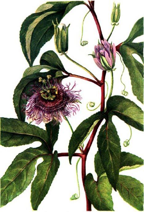 Passionflower Vine (Passiflora incarnata)