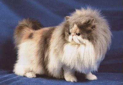 le chat persan l 39 entretien du chat persan. Black Bedroom Furniture Sets. Home Design Ideas
