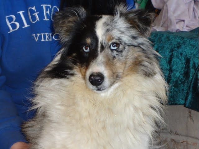 A Blue Merle Sheltie with a split mask