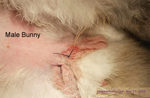 how to clean a rabbit wound
