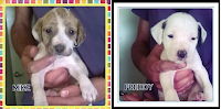 pit bull cani adozione