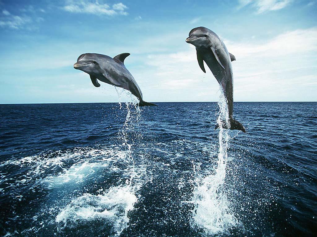 http://4.bp.blogspot.com/-30Zb_ym7dVI/UFOuQR9wb6I/AAAAAAAAA5k/z8jJ64mUaEE/s1600/Two_Dolphins_Jumping_Wallpaper_hfwlj.jpg
