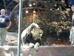 Λιοντάρι επιτίθεται στον εκπαιδευτή του (Video)