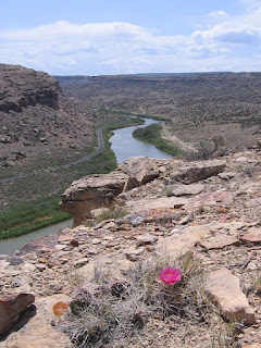 Flowering cholla cactus, Gunnison River and Uncompahgre Plateau