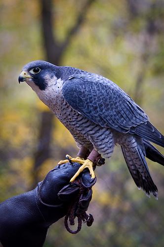 Falcon   Info a...