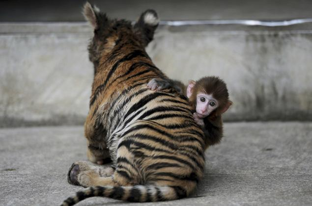Baby rhesus monkey and his tiger cub friends, rhesus monkey