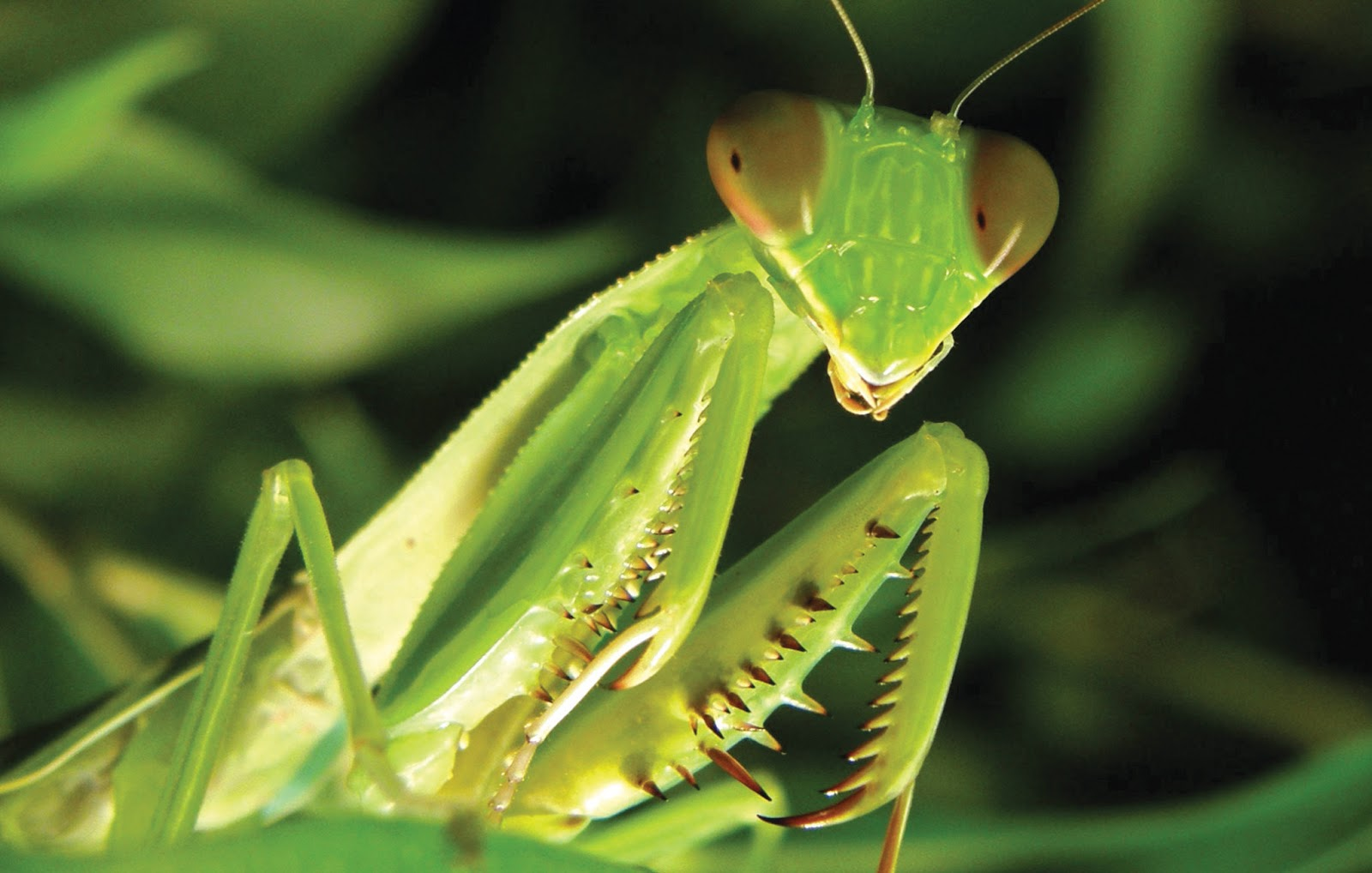the characteristics of praying mantis a bug species Mantidae (also known as praying mantis) is the common name for an insect of the order mantodea which are mostly tropical or subtropical the insect is named after the distinctive way they hold their front legs up and together and is in a prayer, and in greek the word mantis means prophet.