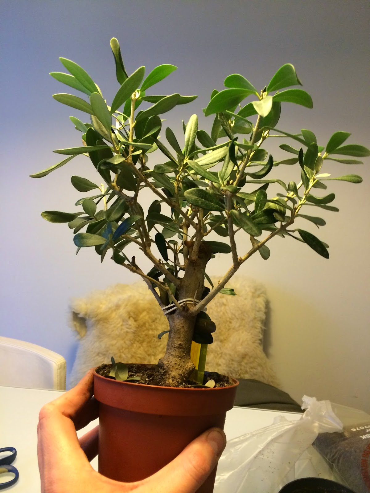 NORDIC NEBARI By Kenneth Olsen Cheap Olive Bonsai