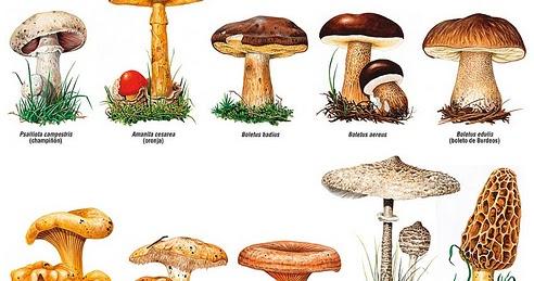 El blog de acebedo setas y hongos curiosidades - Tipos de hongos en la pared ...