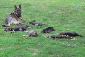 Ruby watching over her puppies sleeping