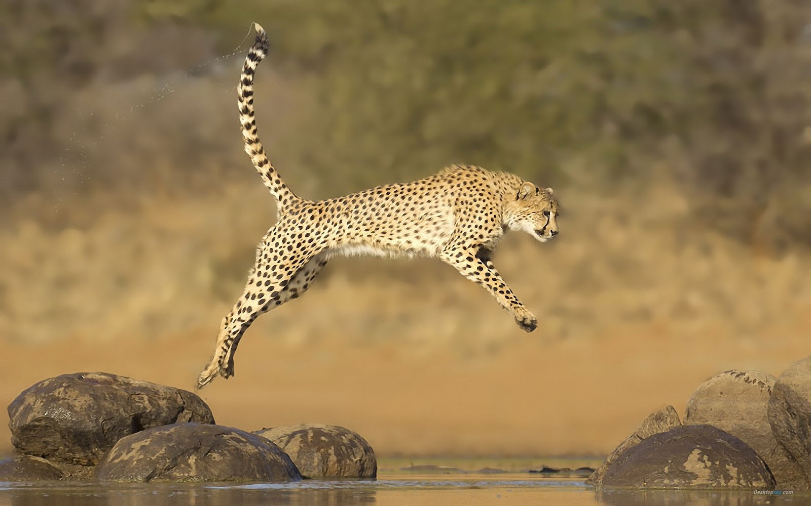 all about animal wildlife cheetah cool hd wallpapers 2012