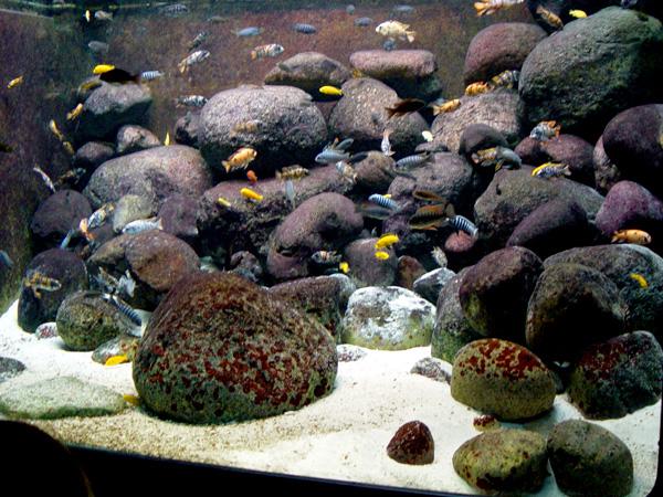 ... For African Cichlid Aquarium THE AQUARIUM PET STORE IN BANGALORE
