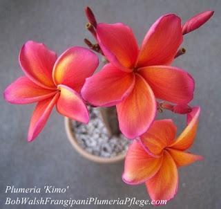 Plumeria 'Kimo'