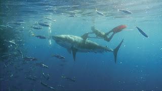 mark healey ride un requin blanc