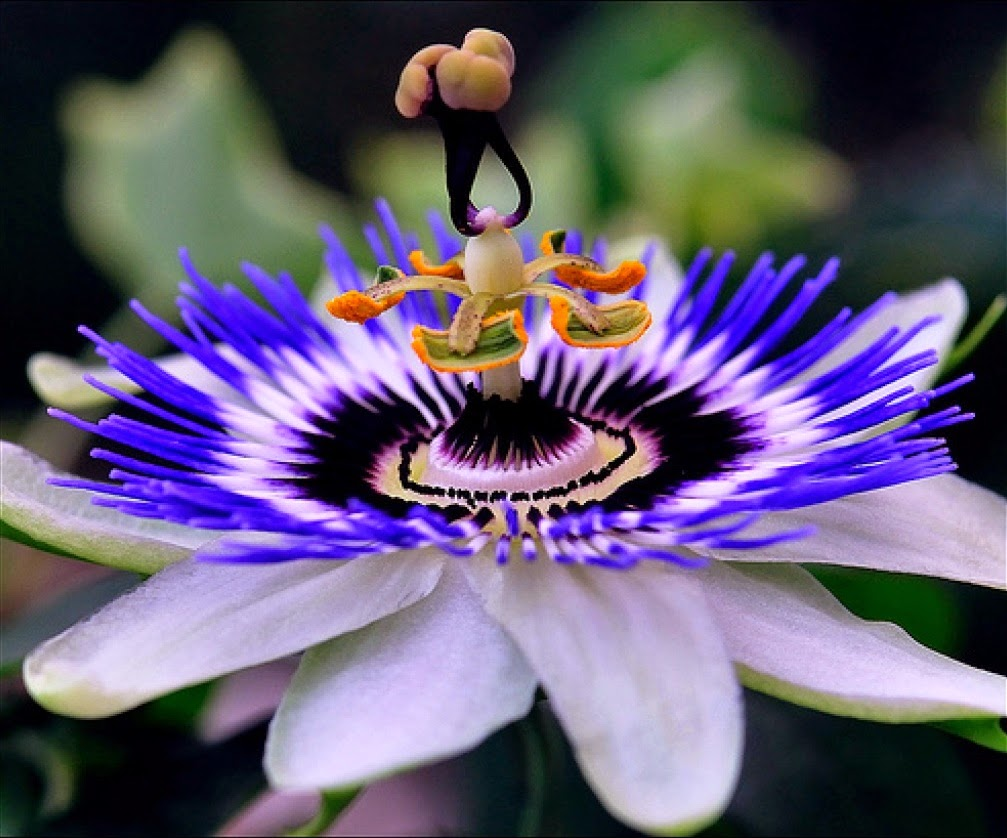 Пассифлора  Passiflora  happyfloraru