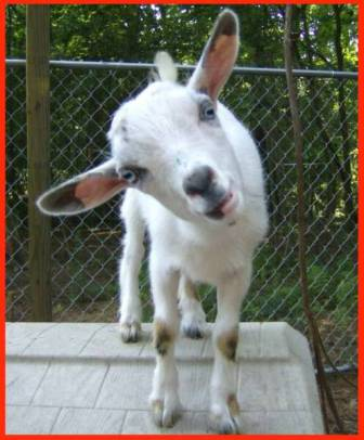 Nesting Notions: Getting my goat(s)