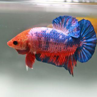 Todo um processo na cria o do peixe betta bettas e for Como criar peces koi