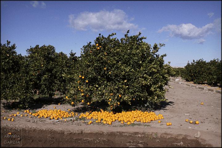 arriba_extraña,naranjo,valencia,paisaje,cosecha
