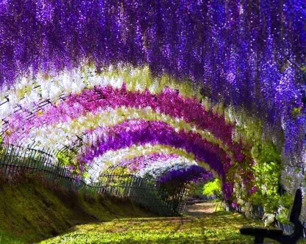 Wisteria Tunnel, Terowongan Pohon dan Bunga