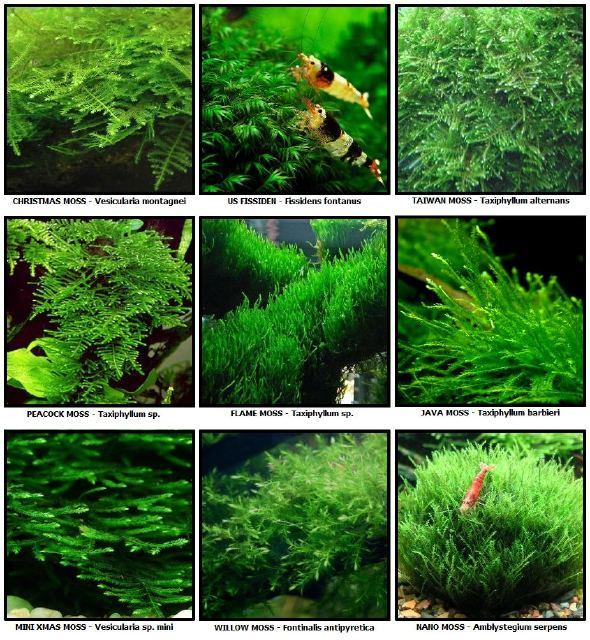 Aquascape Cara Menanam Dan Menumbuhkan Moss