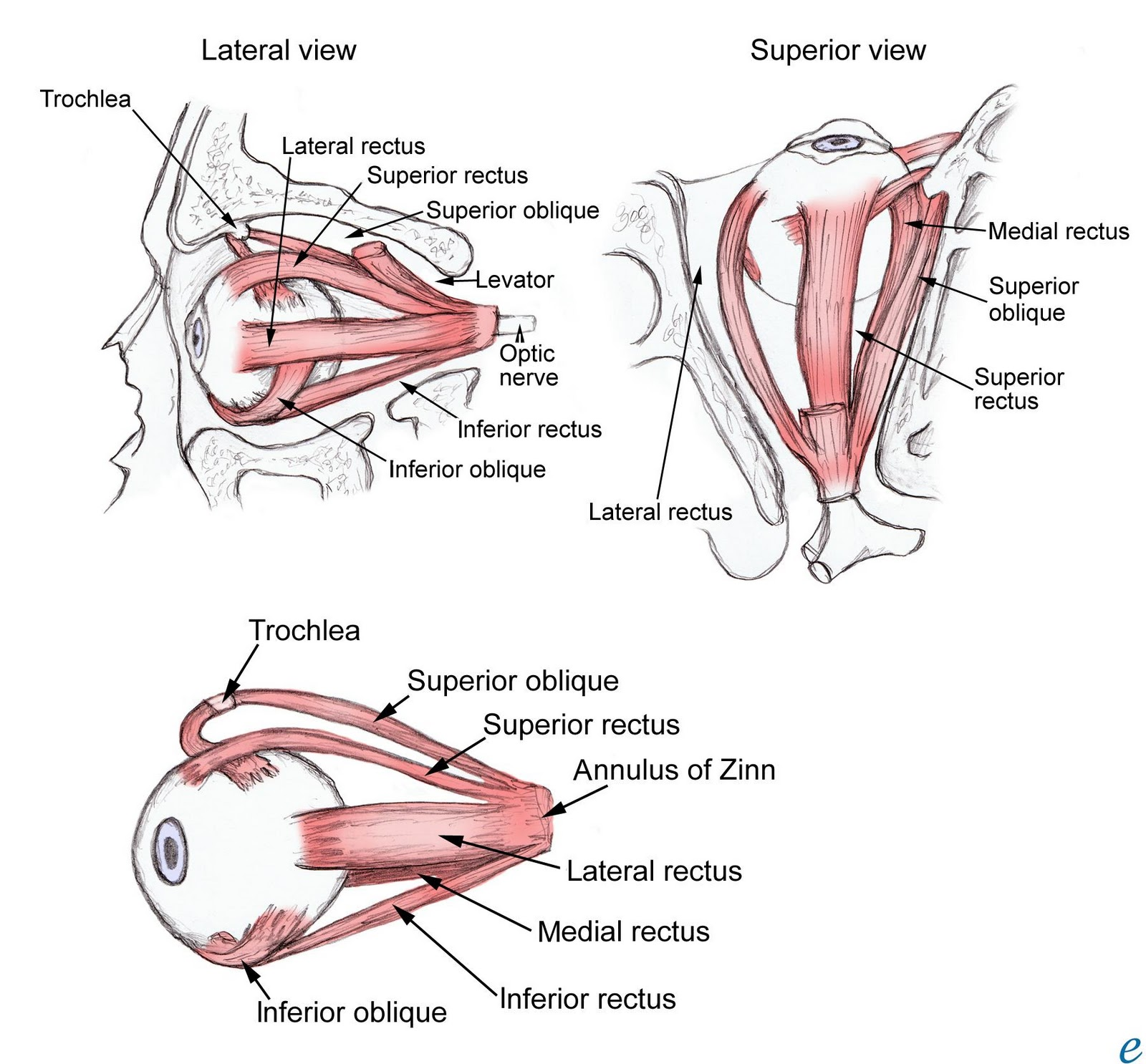 Eye Muscles Assesment
