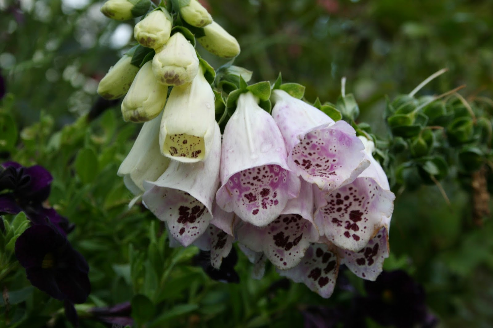fingerborgsblomma digitalis purpurea