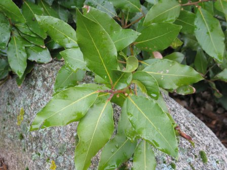 bay laurel leaves against a gray rock