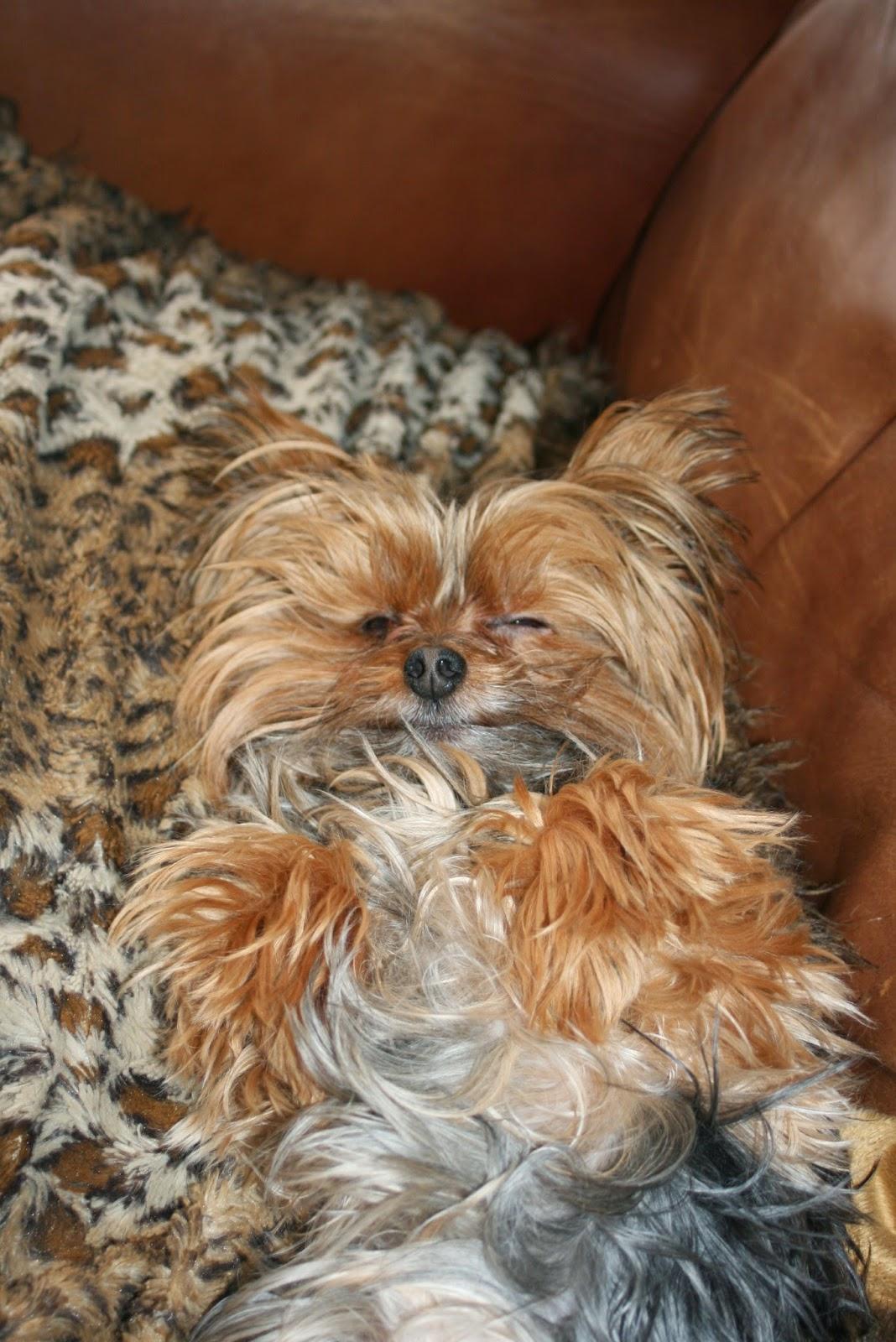 Miniature Yorkshire Terrier Yorkie Needs A Haircut