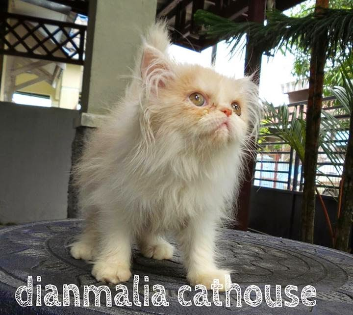 Kitten Persia Ready For Adopt In Juni 2014 Dianmalia Cat