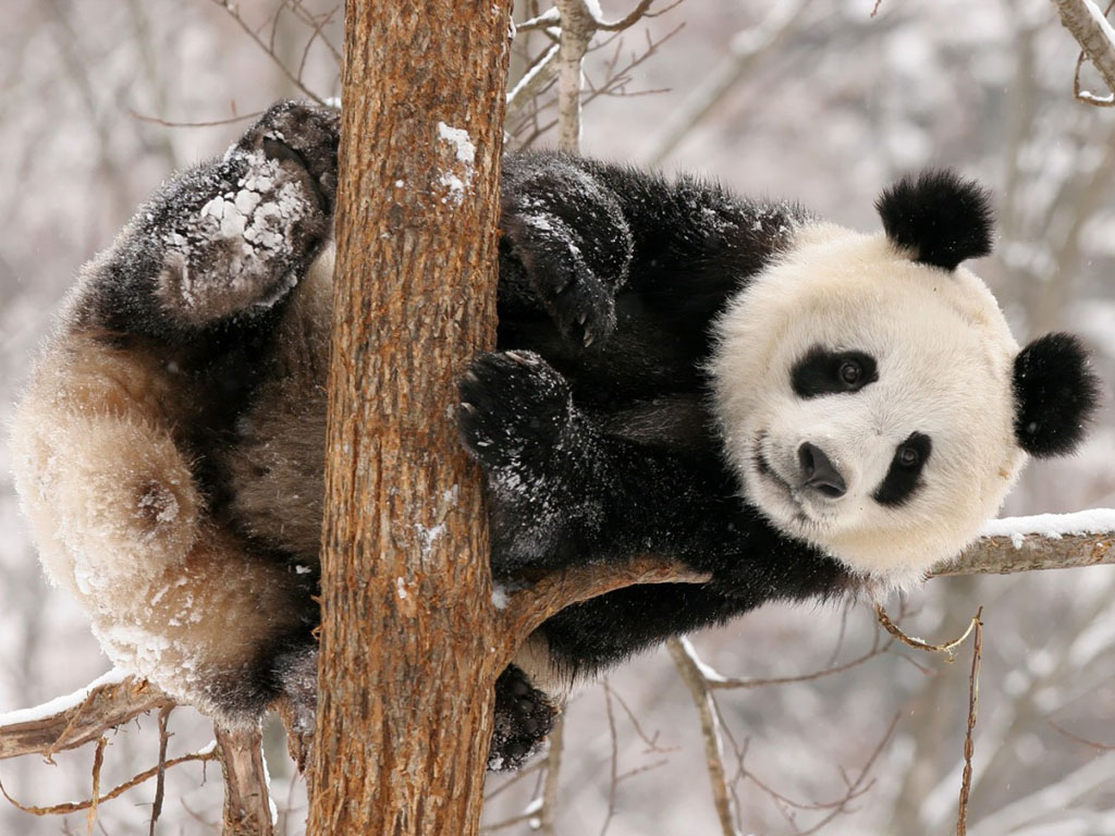 panda pictures hd wallpapers - photo #26