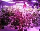 lampu LED untuk pertumbuhan tanaman, lampu LED untuk greenhouse, lampu LED untuk hidroponik
