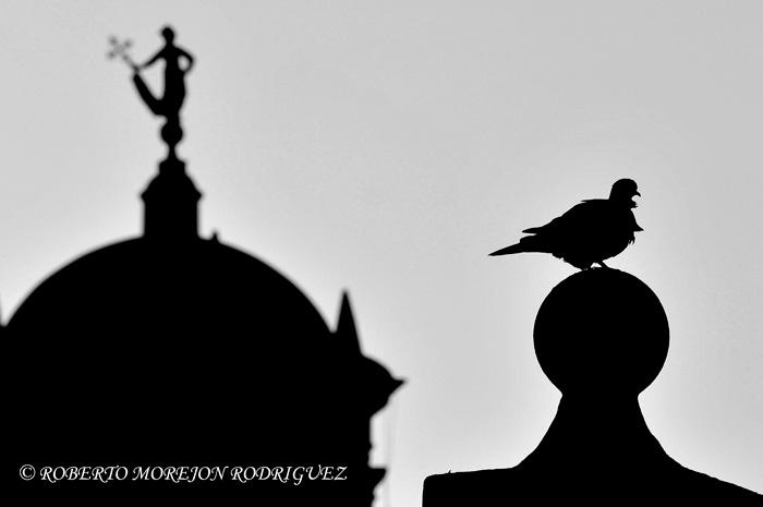 Una paloma alisa su plumaje mojado y al fondo, el símbolo de la capital cubana: la Giraldilla.