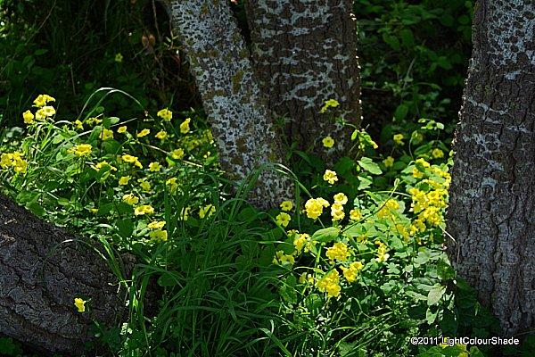 Yellow clover undergrowth