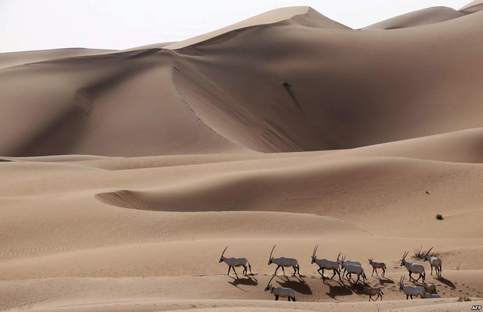 The Arabian Oryx Sanctuary in Umm Al-Zamool