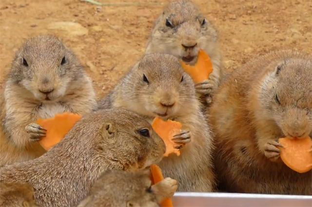 Cães-da-pradaria se alimentando de cenouras