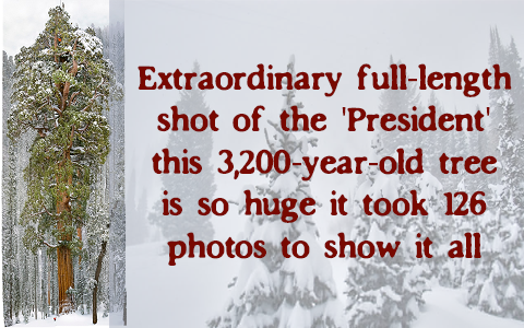 Extraordinary full-length shot of the 'President': this 3,200-year-old tree is so huge it took 126 photos to show it all