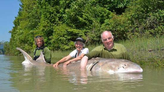 almost-extinct-animals-longest-white-sturgeon-caught-by-michael-snell